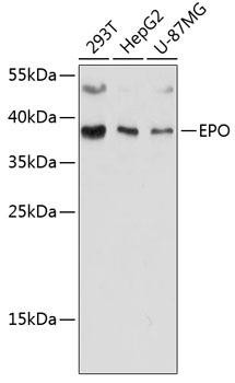 Immunology Antibodies 1 Anti-EPO Antibody CAB12435