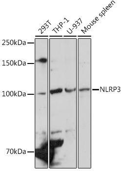 Immunology Antibodies 1 Anti-NLRP3 Antibody CAB12694
