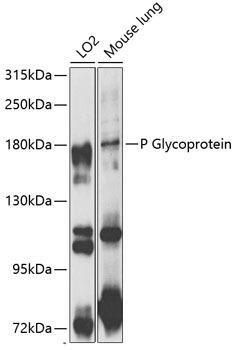 Signal Transduction Antibodies 1 Anti-P Glycoprotein Antibody CAB1284