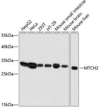 Signal Transduction Antibodies 1 Anti-MTCH2 Antibody CAB12934