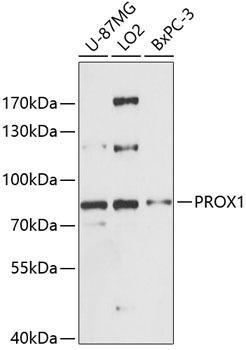 Cell Biology Antibodies 3 Anti-PROX1 Antibody CAB13042