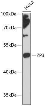 Developmental Biology Anti-ZP3 Antibody CAB13156