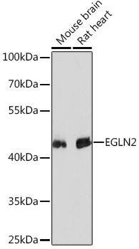 Cell Biology Antibodies 4 Anti-EGLN2 Antibody CAB13447