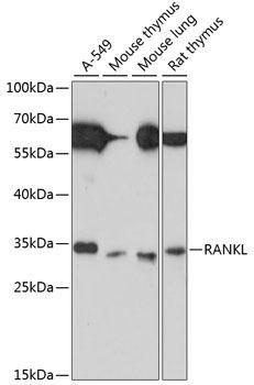 Developmental Biology Anti-RANKL Antibody CAB13567