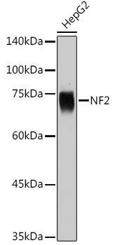 KO Validated Antibodies 1 Anti-NF2 Antibody CAB13626KO Validated