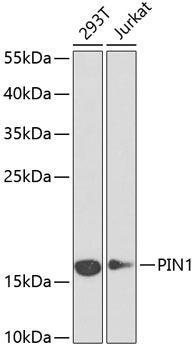 Cell Cycle Antibodies 1 Anti-PIN1 Antibody CAB13665