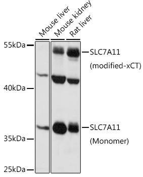 Signal Transduction Antibodies 1 Anti-SLC7A11 Antibody CAB13685