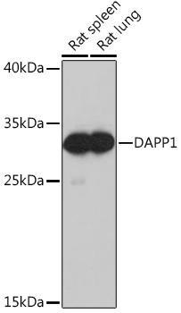 Cell Biology Antibodies 4 Anti-DAPP1 Antibody CAB13716