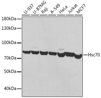 Immunology Antibodies 1 Anti-Hsc70 Antibody CAB14001