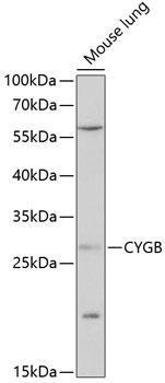 Signal Transduction Antibodies 1 Anti-CYGB Antibody CAB14155