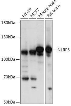 Immunology Antibodies 1 Anti-NLRP3 Antibody CAB14223