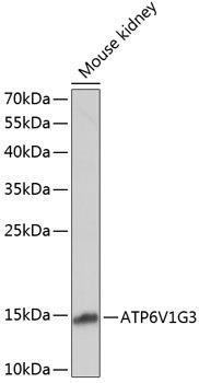 Signal Transduction Antibodies 1 Anti-ATP6V1G3 Antibody CAB14443