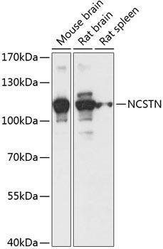 Signal Transduction Antibodies 1 Anti-NCSTN Antibody CAB14505