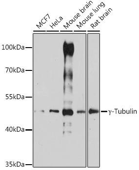 Cell Biology Antibodies 5 Anti-Gamma-Tubulin Antibody CAB14554