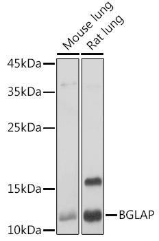 Signal Transduction Antibodies 1 Anti-BGLAP Antibody CAB14636