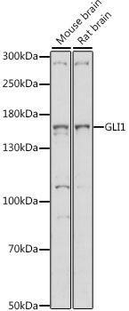 Developmental Biology Anti-GLI1 Antibody CAB14675