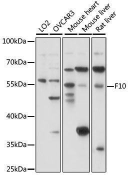 Cardiovascular Antibodies Anti-F10 Antibody CAB15057