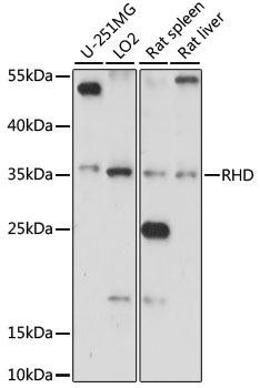 Immunology Antibodies 1 Anti-RHD Antibody CAB15091
