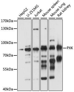 Immunology Antibodies 1 Anti-PXK Antibody CAB15458