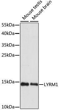 Signal Transduction Antibodies 2 Anti-LYRM1 Antibody CAB15483