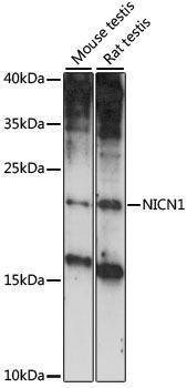 Signal Transduction Antibodies 2 Anti-NICN1 Antibody CAB15532