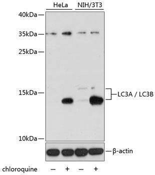 Autophagy Antibodies Anti-LC3A / LC3B Antibody CAB15591