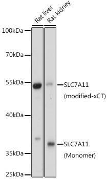 Signal Transduction Antibodies 2 Anti-SLC7A11 Antibody CAB15604