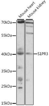 Signal Transduction Antibodies 2 Anti-S1PR3 Antibody CAB15664