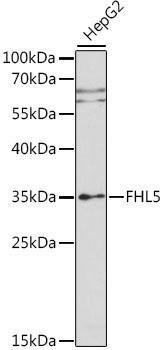 Signal Transduction Antibodies 2 Anti-FHL5 Antibody CAB15756
