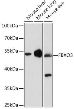 Signal Transduction Antibodies 2 Anti-FBXO3 Antibody CAB15813