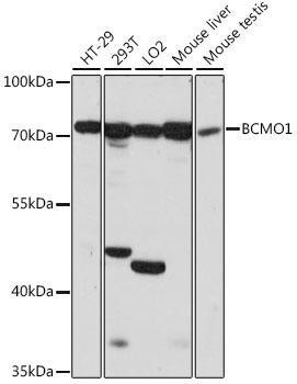 Signal Transduction Antibodies 2 Anti-BCMO1 Antibody CAB15848
