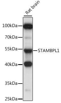 Signal Transduction Antibodies 2 Anti-STAMBPL1 Antibody CAB15877