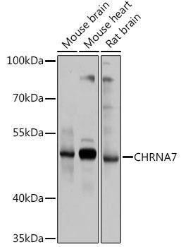 Signal Transduction Antibodies 2 Anti-CHRNA7 Antibody CAB1588