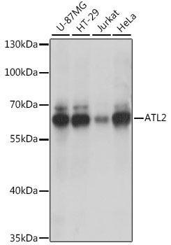 Signal Transduction Antibodies 2 Anti-ATL2 Antibody CAB15884