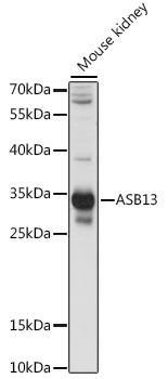 Signal Transduction Antibodies 2 Anti-ASB13 Antibody CAB15897