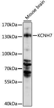 Signal Transduction Antibodies 2 Anti-KCNH7 Antibody CAB15923