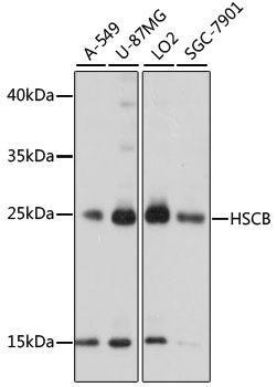 Signal Transduction Antibodies 2 Anti-HSCB Antibody CAB15961