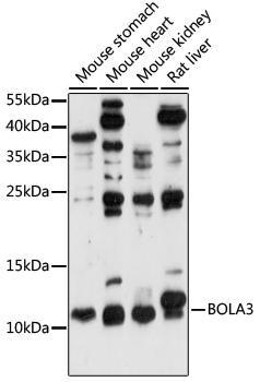 Signal Transduction Antibodies 2 Anti-BOLA3 Antibody CAB15985