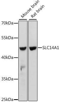 Signal Transduction Antibodies 2 Anti-SLC14A1 Antibody CAB15991