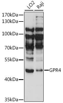 Signal Transduction Antibodies 2 Anti-GPR4 Antibody CAB15998