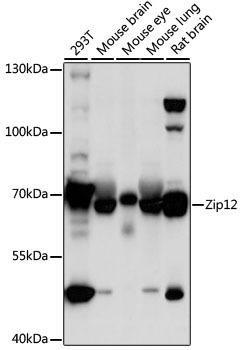 Signal Transduction Antibodies 2 Anti-Zip12 Antibody CAB16006