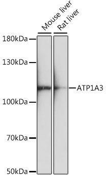 Signal Transduction Antibodies 2 Anti-ATP1A3 Antibody CAB16036