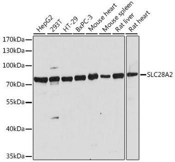 Signal Transduction Antibodies 2 Anti-SLC28A2 Antibody CAB16086