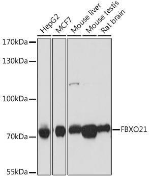 Signal Transduction Antibodies 2 Anti-FBXO21 Antibody CAB16107