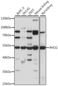 Signal Transduction Antibodies 2 Anti-RHCG Antibody CAB16124