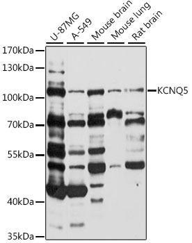Signal Transduction Antibodies 2 Anti-KCNQ5 Antibody CAB16134