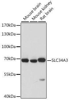 Signal Transduction Antibodies 2 Anti-SLC34A3 Antibody CAB16168