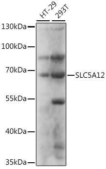 Signal Transduction Antibodies 2 Anti-SLC5A12 Antibody CAB16177