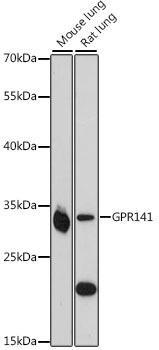 Signal Transduction Antibodies 2 Anti-GPR141 Antibody CAB16184