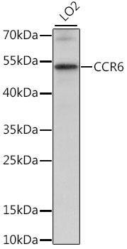 Immunology Antibodies 2 Anti-CCR6 Antibody CAB16206